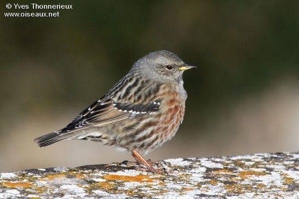 Image oiseaux for Petit oiseau gris